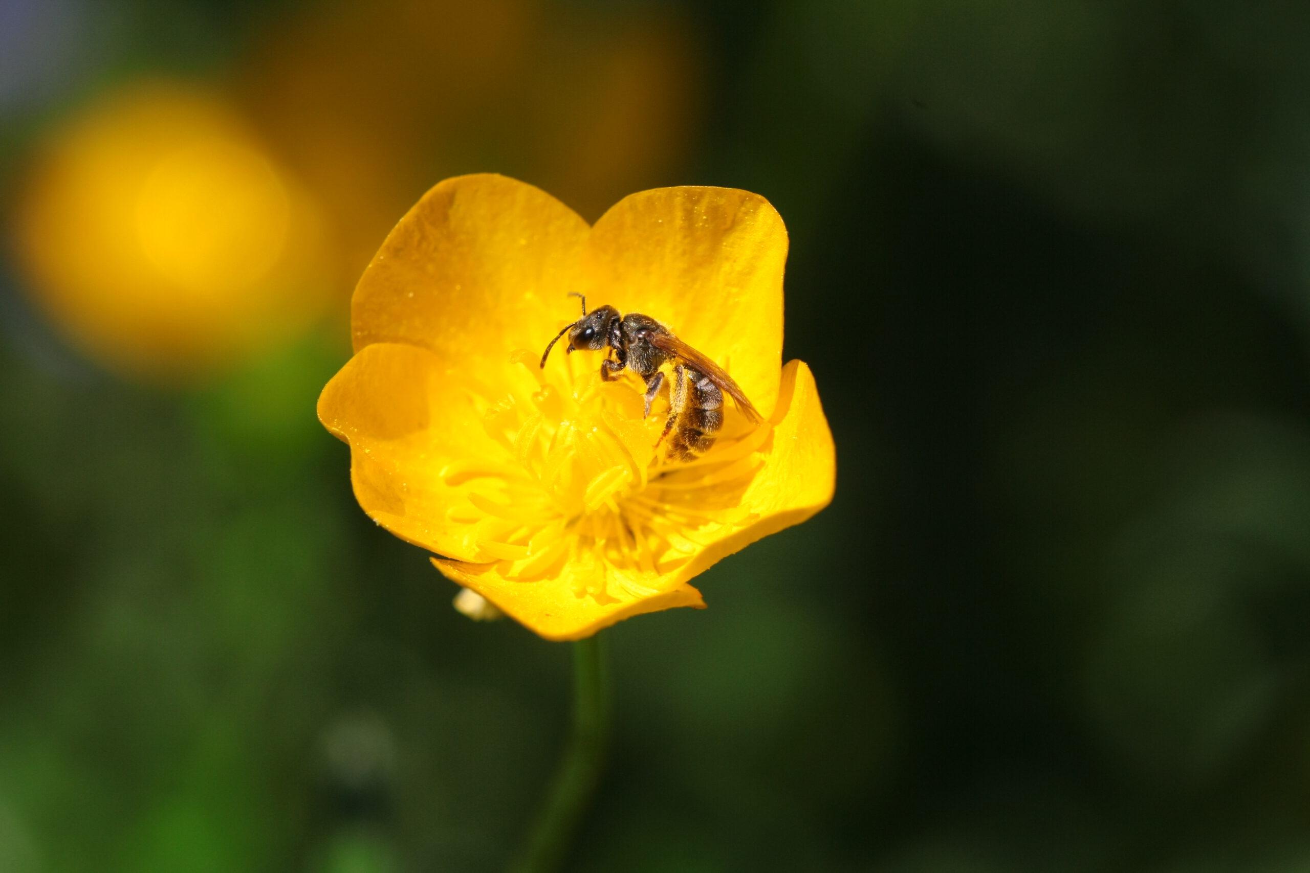 Lebensraum für Wildbienen und Insekten schaffen